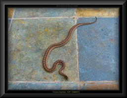 North American Brown Snake by slowdog294