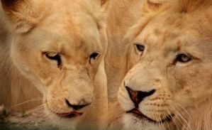 White Lions by Weekendphotographer