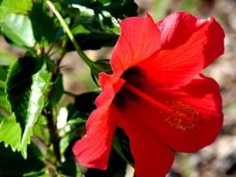 Hibiscus by Sharondipity
