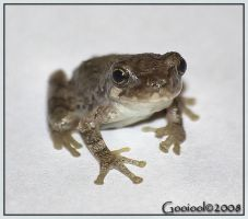 Frog by Gooiool