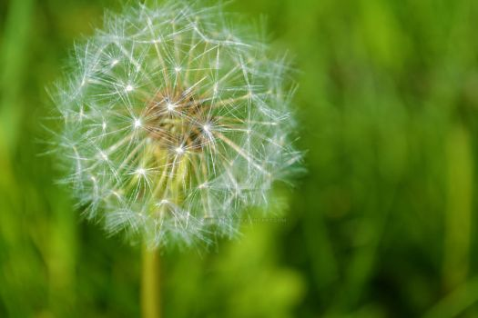 Dandelions are much more beautiful up close by grumble-bum