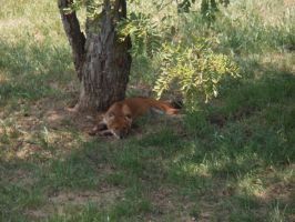 Dhole 2 by mayestock