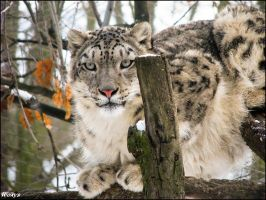 Snow leopard got high by woxys