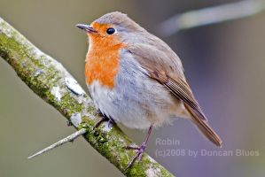 Robin up close by duncan-blues