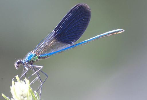 Blue Dragonfly by 19andrea87