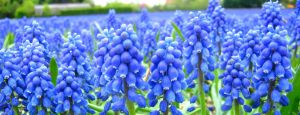Blue grape Flowers by Bouwland