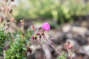 pink heather by GreenSlOw