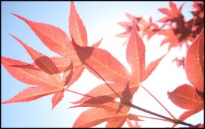 Red Glass Leaves by aelthwyn