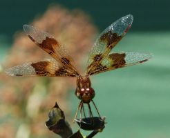 E. Amberwing, female by duggiehoo