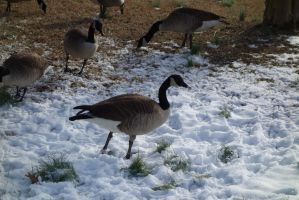 Geese6 by stockicide