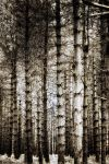 Pine Forest 1 by Coigach