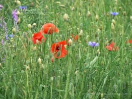 Poppies at the meadow by Ylvanqa