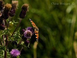 butterfly on thistles 2 by MaliskaRodgers