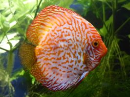 Orange White Discus Fish by Yoruichi-Takashi