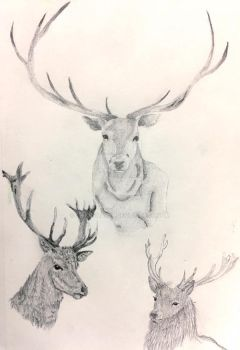 Stag Study by sharshar27