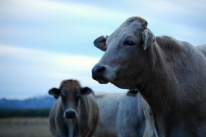 Mad cow, III. by chelseahunter