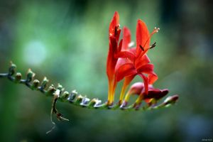 Crocosmia Lucifer by George---Kirk