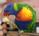 Rainbow Lorikeet. yummy treat. by scratzilla