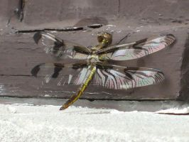 Dragonfly 3 by greenlee4
