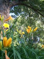 Stella D'oro Day Lily 11 by racheltorres921