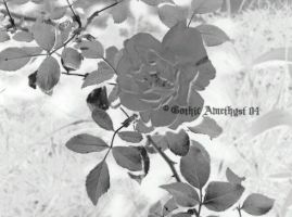 Rose BnW by GothicAmethyst