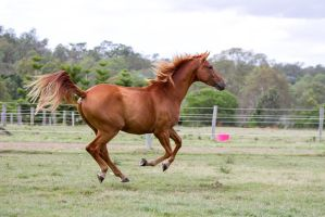 Dn Wb chestnut gallop all legs up by Chunga-Stock