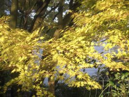 Japanese Maple Tree by irkdevine