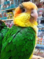 Cheerful Caique by koshplappit