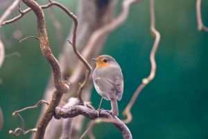 Robin by RuBa1000
