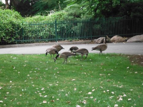 Geese by TomRedlion