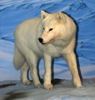 Denver Museum Wolves 244 by Falln-Stock