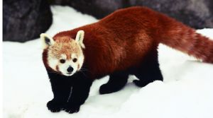 Red Panda II by Verenth