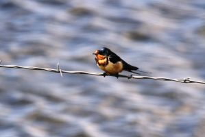 Cliff Swallow - Bird on Wire Walden CO by Shadow848327