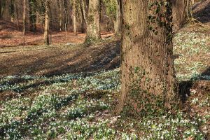 Fields of Snowdrops by AgiVega