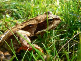 grass frog by chaosqueen122