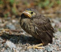 Baby Northern Oriel chick by natureguy