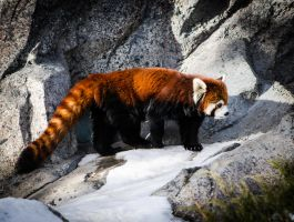 Red Panda 005 by PlasticSparkPhotos