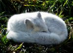 Arctic Fox by JessicaDobbs
