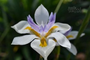 White, Lavender, & Yellow Flower by FotoMama