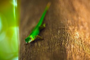 curious Gecko by fly10