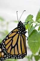 Monarch II by thriftyredhead