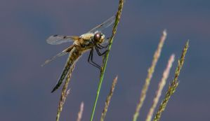 Four Spotted Chaser - Profile by noelholland