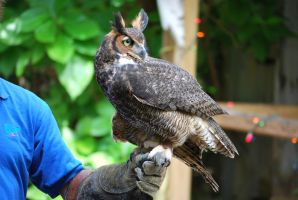 Horned Owl 2 by SBG-CrewStock