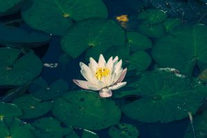 Water Lilly by Jack-Nobre