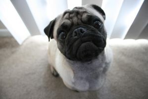 Bigsby the Pug by Elana-Martin