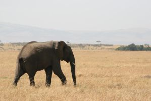 First elephant by myp55