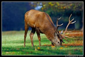 Autumn Red Deer Stag by andy-j-s
