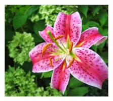 The Stargazer Lily by Marita-Covarrubias