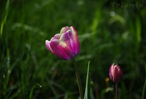 Tulip by Triumfa