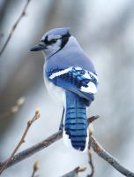 Blue Jay by daveant